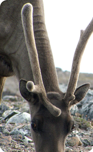 Caribou Looking by Tim Irvin